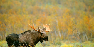 Stockholm Moose & Wildlife Safari